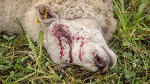 tapetud-lammas-hunt-10