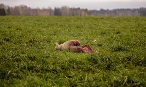 tapetud-lammas-hunt-3