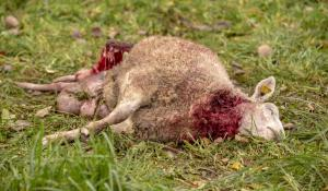 tapetud-lammas-hunt-7